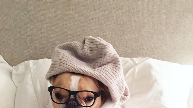 Fallece Chloe, la bulldog francés más pequeña y famosa de Instagram