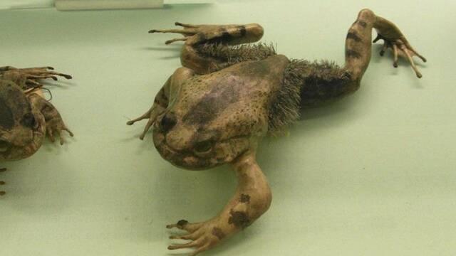 Así es la rana peluda que se parece a Lobezno
