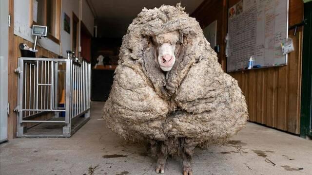 Así es Baarack, la oveja gigante con más de 35 kilos de lana