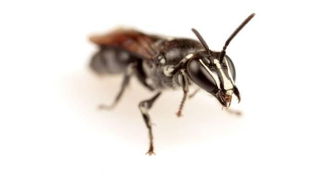 Una abeja que se creía extinta reaparece en Australia tras un siglo
