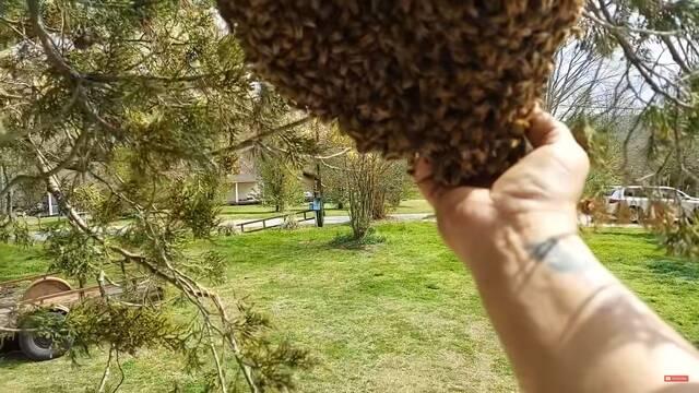 Un apicultor desplaza un enjambre entero con las manos desnudas