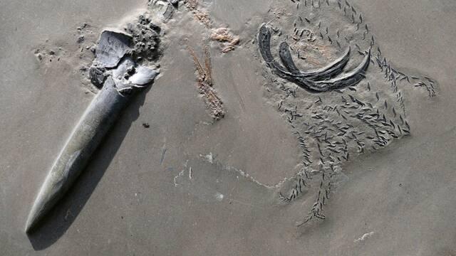Así es el fósil jurásico de un cangrejo devorado por un calamar devorado por un tiburón