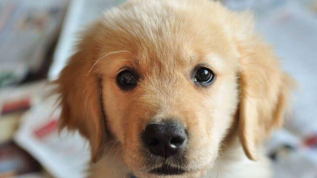 Explican científicamente por qué nuestro perro nos pone 'cara de pena'