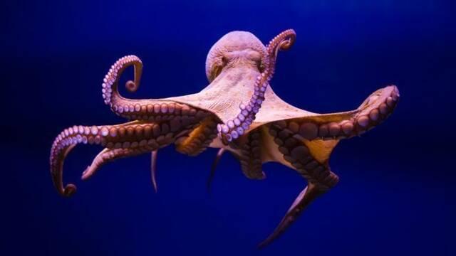 Los tentáculos de un pulpo van por libre: no necesitan del cerebro