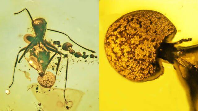 Descubierto un nuevo tipo de hongo parásito Cordyceps en una pieza de ámbar