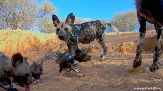 GoPro escondida logra captar la vida de una manada de perros salvajes africanos