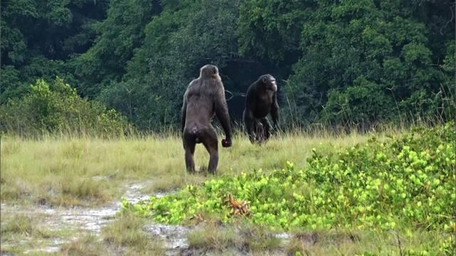 Científicos presencian por primera vez cómo chimpancés matan a un gorila