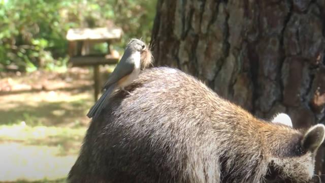 Varios pájaros están robando indiscriminadamente el pelo de animales y humanos