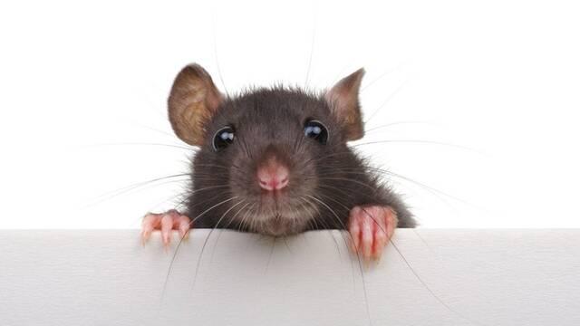 Creyó que tenía COVID-19 pero no: Había contraído tifus de una rata muerta