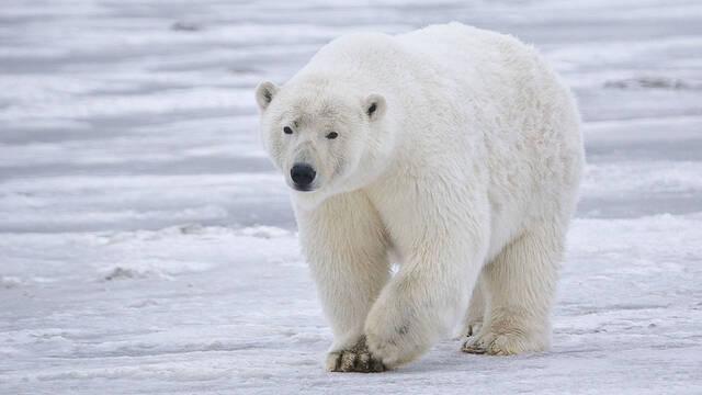 Los osos polares podrían hacer uso de bloques de hielo como armas para cazar