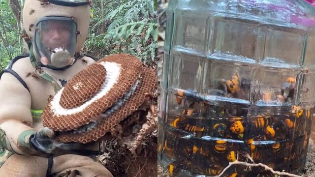 Así caza un equipo de investigadores en Asia a los temibles avispones gigantes