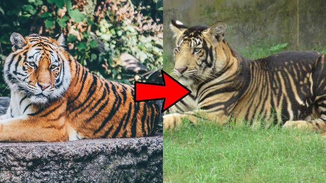Los tigres negros de la India tienen rayas gigantes por una mutación genética