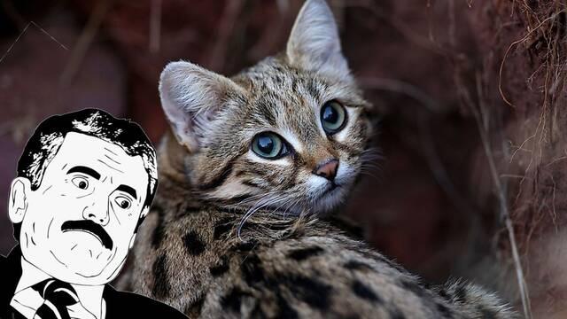 Este es el gato más adorable de todos... y el más peligroso del planeta