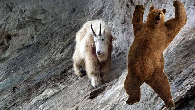 Una cabra montesa se enfrenta y mata a un oso grizzly en el Parque Nacional Canadiense