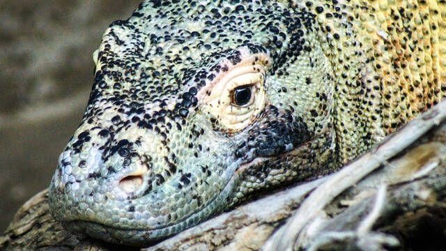El dragón de Komodo está en peligro de extinción por el cambio climático